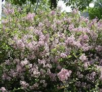 Dwarf Korean Lilac Picture