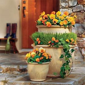 Orange Pansies in pots