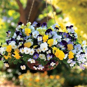 Cool Wave Pansies In Hanging Basket