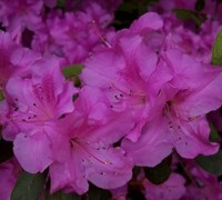 Autumn Royalty Encore Azalea Picture