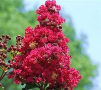 Holly Lane Crape Myrtle Picture