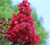 Holly Lane Crape Myrtle