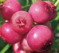 Pink Lemonade Blueberry Picture