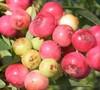 Pink Lemonade Blueberry