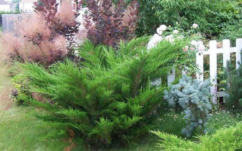 Sea Green Juniper Picture
