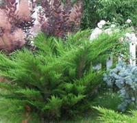 Sea Green Juniper Picture