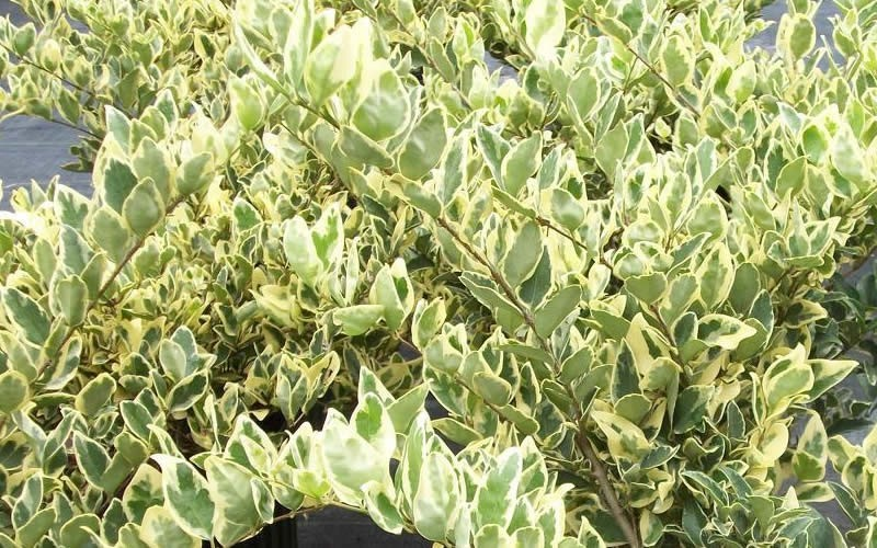 ENH-512/ST353: Ligustrum japonicum 'Variegatum ...
