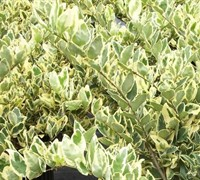 Jack Frost Ligustrum Picture