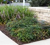 Harbour Dwarf Nandina