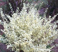 Variegated Privet Picture