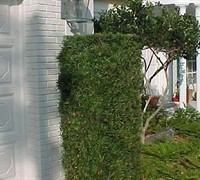 Podocarpus Yew Picture