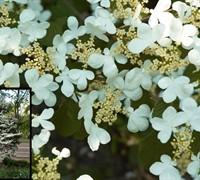 Summer Snowflake Viburnum Picture