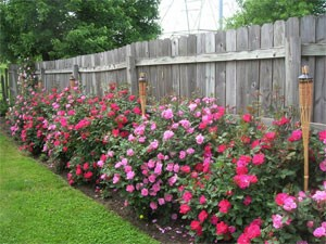 Knock Out Roses Along Fence
