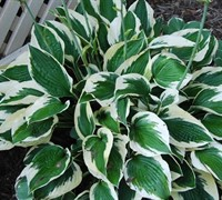 Patriot Hosta Lily Picture