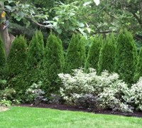 Emerald Green Arborvitae Picture