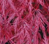 Inaba Shidare Japanese Maple