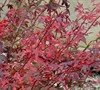 Hime Shojo Japanese Maple Picture