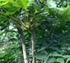 Sekka Yatsubusa Japanese Maple