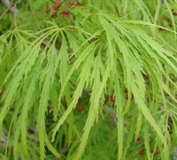 Viridis Japanese Maple Picture