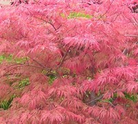 Watnong Japanese Maple Picture