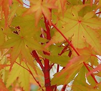 Winter Flame Japanese Maple Picture