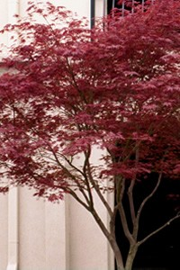 Japanese Maple Sherwood Flame