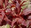 Beni Hagoromo Japanese Maple