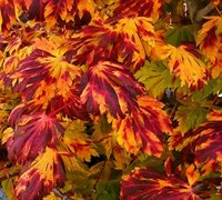 Dancing Peacock Full Moon Japanese Maple Picture