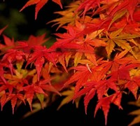 Glowing Embers Japanese Maple Picture