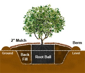 Japanese Maple Planting Diagram