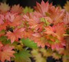 Palmatifolium Full Moon Japanese Maple