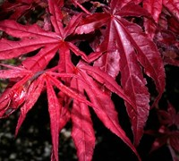 Red Emperor Japanese Maple Picture