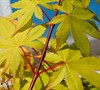 Summer Gold Japanese Maple