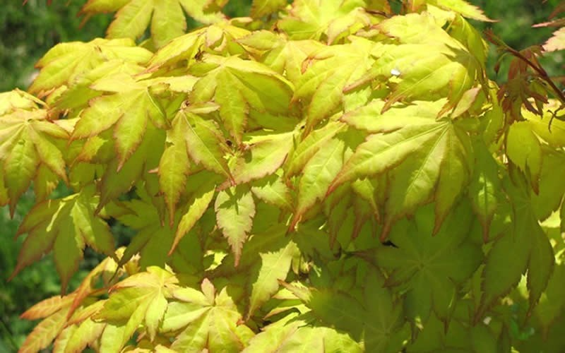 Summer Gold Japanese Maple Picture