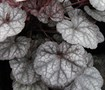 Silver Scrolls Heuchera