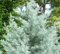 Silver Smoke Arizona Cypress Picture