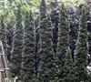 Degroots Spire Arborvitae
