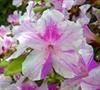 Autumn Twist Encore Azalea Picture