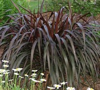 Princess Caroline Purple Fountain Grass Picture