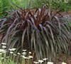 Princess Caroline Purple Fountain Grass