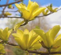 Butterflies Magnolia Picture
