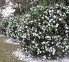 Mine No Yuki Camellia Sasanqua