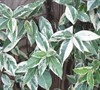 Variegated Confederate Jasmine