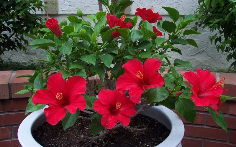 Red Tropical Hibiscus
