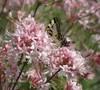 Piedmont Azalea Picture