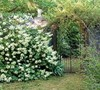 Snow Queen Hydrangea