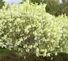 Grancy Graybeard Tree