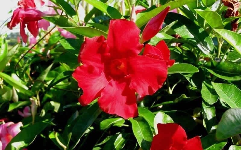 Giant Crimson Mandevilla Picture