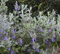 Azure Bush Germander Picture