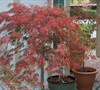Crimson Queen Fall Color